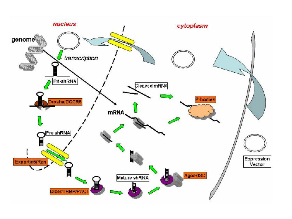 short hairpin rna mcmanus lab RNA in a Cell target specifically the region of an mrna to which its shrna fragment is plementary for parison to the biogenesis of sirna see rao et al 2009